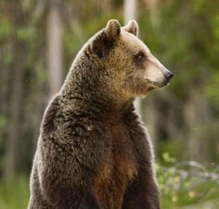 Индивидуальная охота на медведя на овсах с вышки